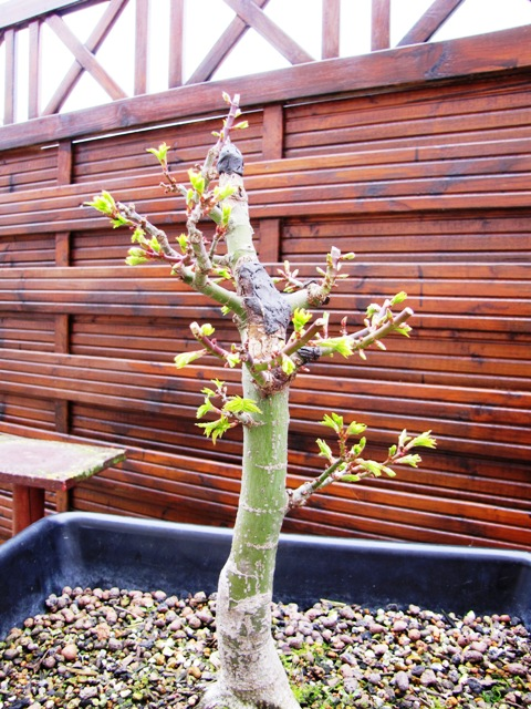 plant acer shishigashira pour formation en bonsai - Page 5 Img_5115
