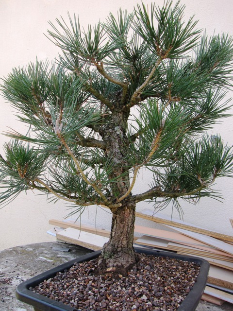 pin noir  thunbergii Img_5121