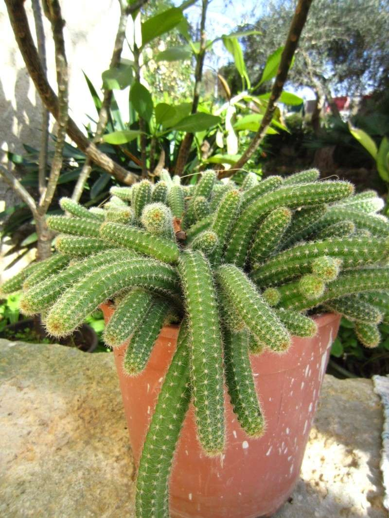 [RISOLTO: Aporophyllum sp.- pianta grassa ricadente] Chi la conosce? Img_2410