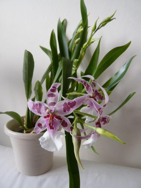 Quelques orchidées Bellea10