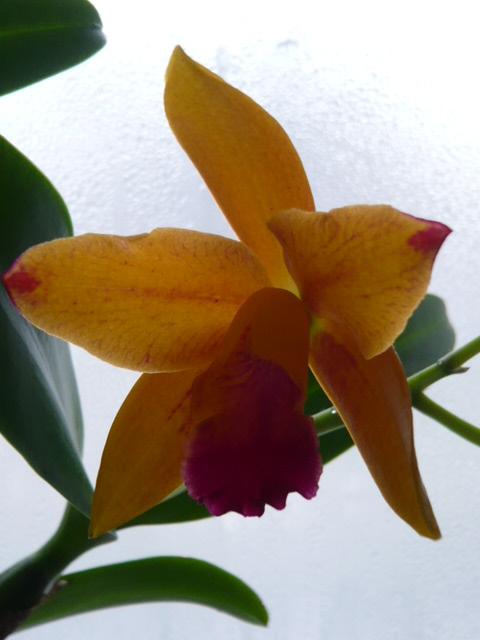 Quelques orchidées Cattle11