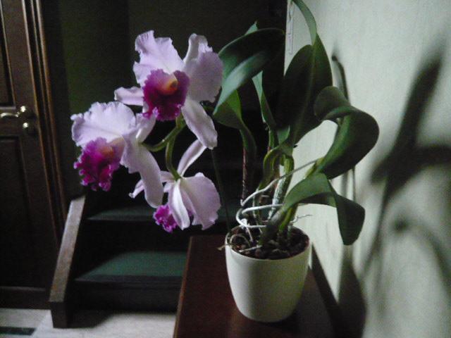 Quelques orchidées Cattle12
