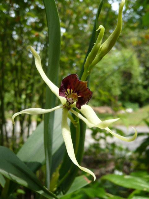 Quelques orchidées Encycl10