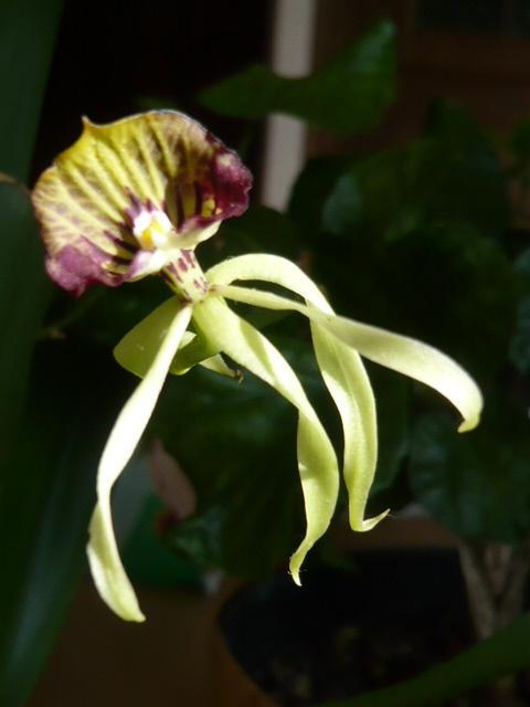 Quelques orchidées Encycl12