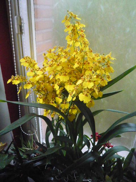 Quelques orchidées Oncidi10