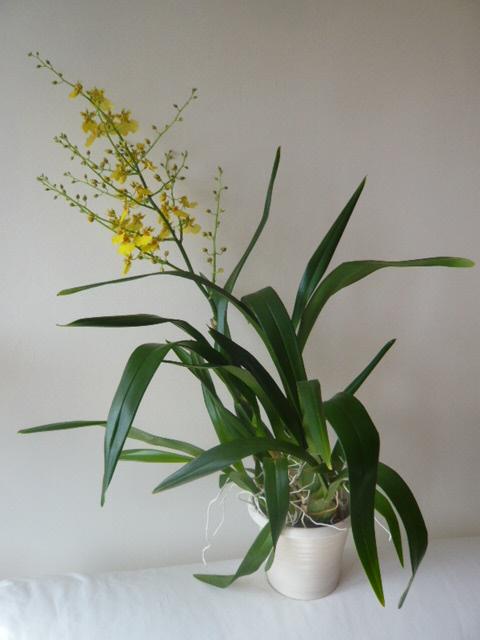 Quelques orchidées Oncidi11