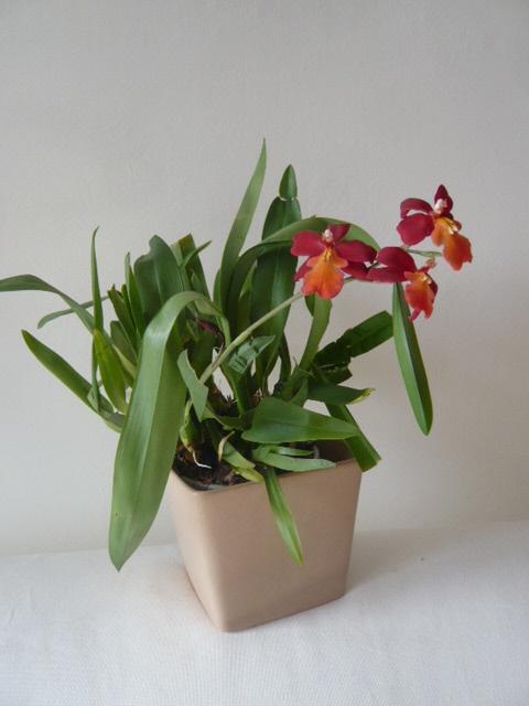 Quelques orchidées Vuylst10