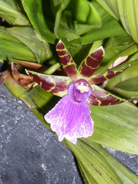 Quelques orchidées Zygo_f10