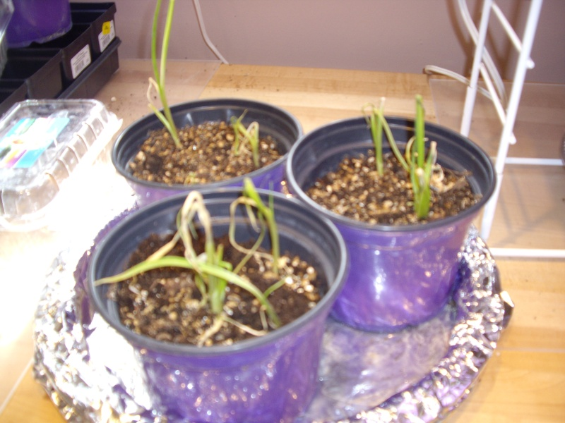 I'm making progress and gardens Garlic10
