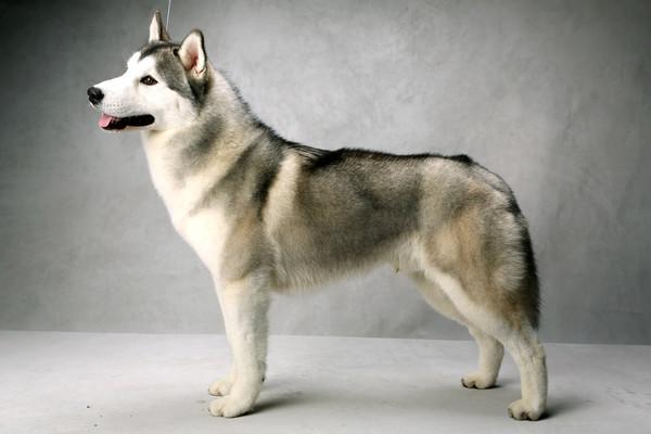 Westminster Dog Show Siberi10