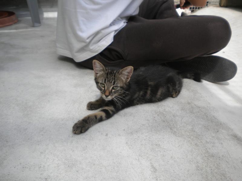 BELEY (chaton mâle tigré) réservé Beley10