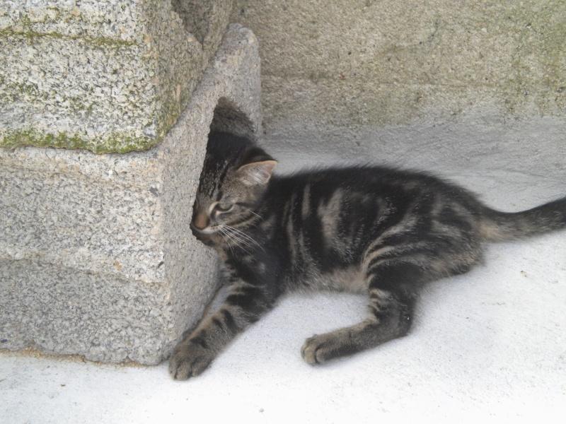 BELEY (chaton mâle tigré) réservé Beley_10