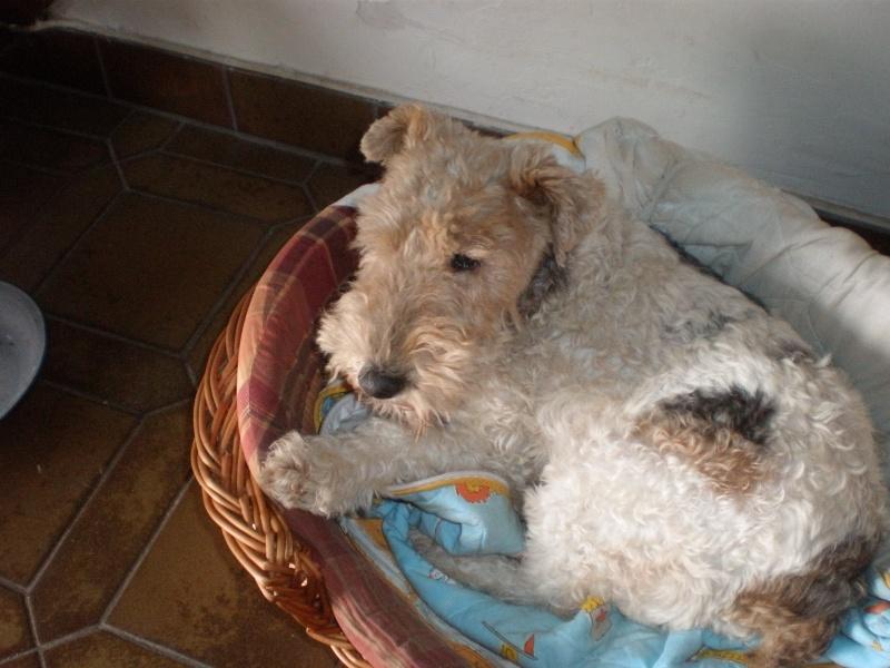 SASSIE (femelle fox terrier) P3102210