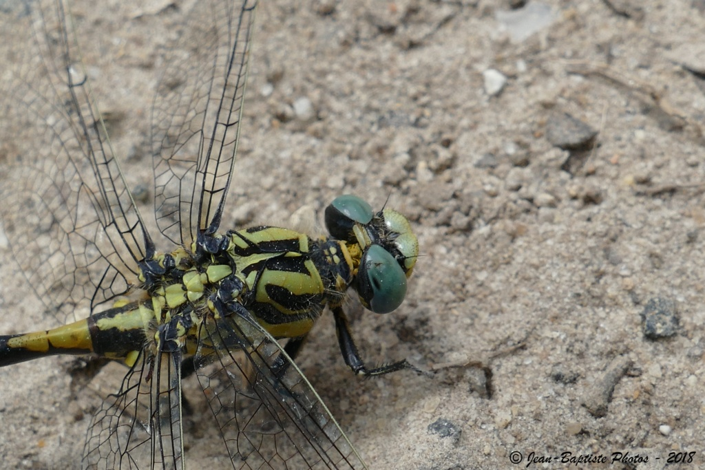 [Onychogomphus uncatus] Onychogomphus forcipatus ? Copie_12