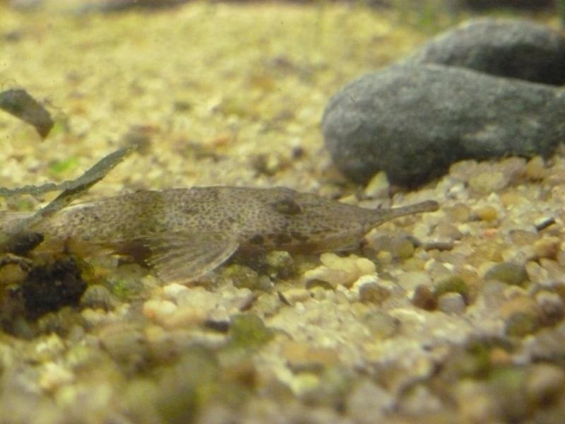 Hémiodontichthys acipenserinus f0 02310