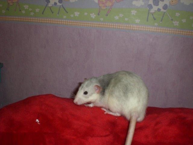 Les RatsCapables de Titia ! - Page 2 Mimi_e10