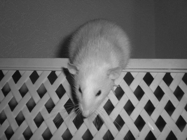 Les RatsCapables de Titia ! - Page 2 Vtt_ve10