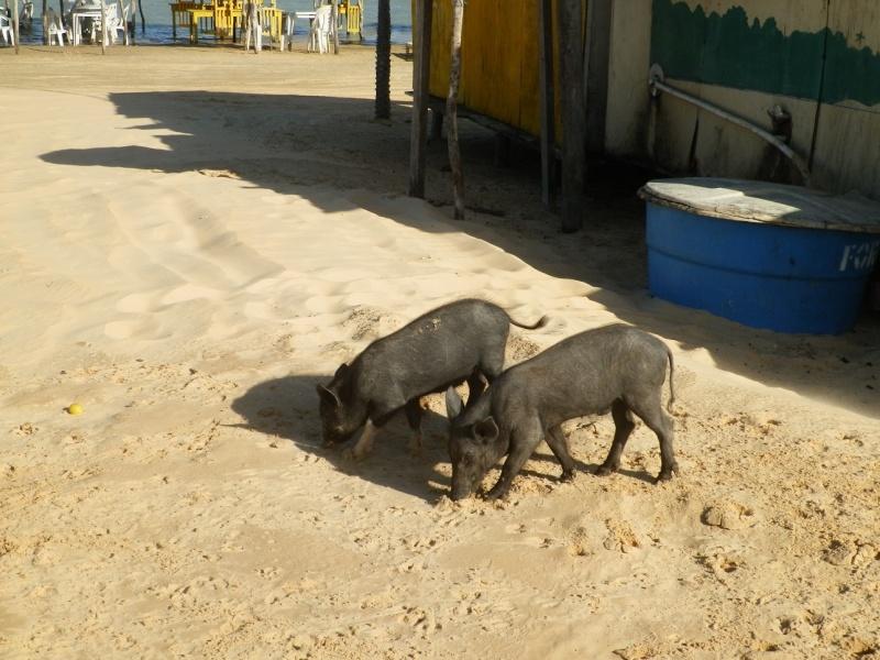 BRAZIL!!!!! Pig10