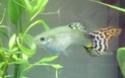 Post-it: Le guppy  (Poecilia reticulata) Dscf6511