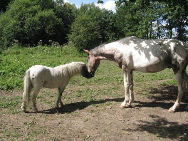 Superbe mini cheval PP pintaloosa yeux vairons Img_4310