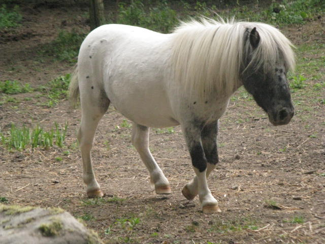 Superbe mini cheval PP pintaloosa yeux vairons Img_4510