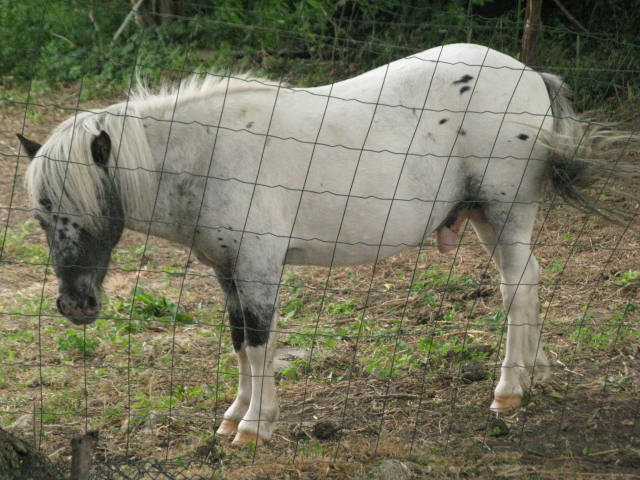 Superbe mini cheval PP pintaloosa yeux vairons Img_4511