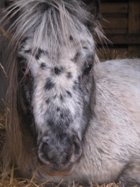 Superbe mini cheval PP pintaloosa yeux vairons Img_5910
