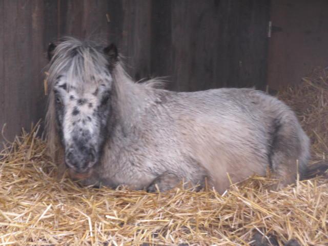 Superbe mini cheval PP pintaloosa yeux vairons Img_5911