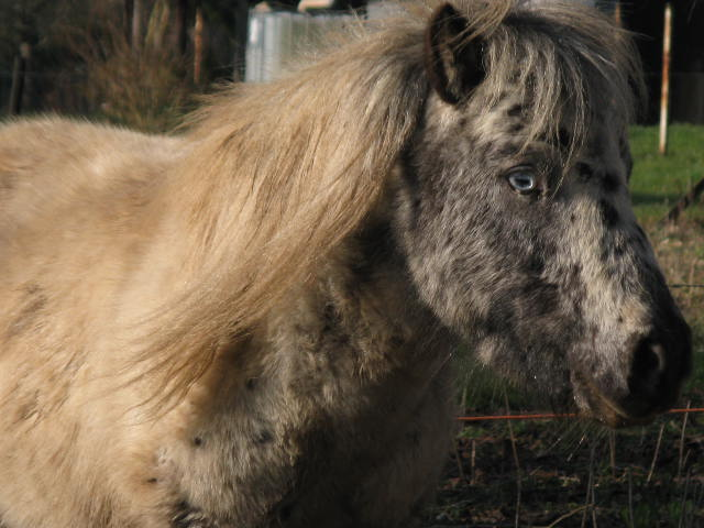 Superbe mini cheval PP pintaloosa yeux vairons Img_6710