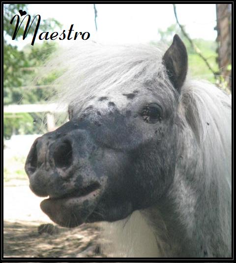 Superbe mini cheval PP pintaloosa yeux vairons P_maes10