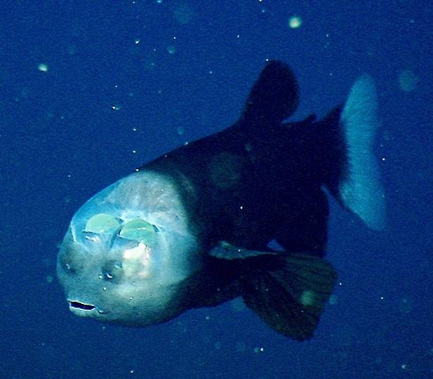 {Fiche/Espèce} : The Barreleye Fish Barrel10