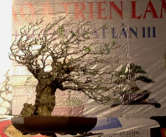 Vietnam International bonsai show 10035311