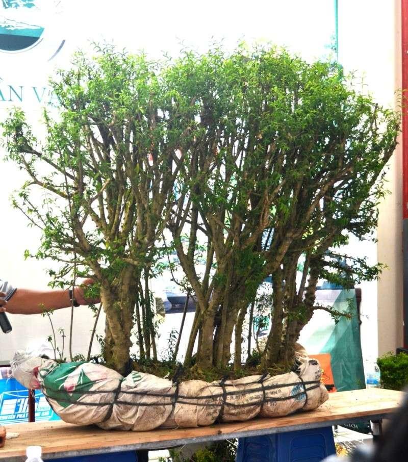 Vietnam International bonsai show Dsc_4911