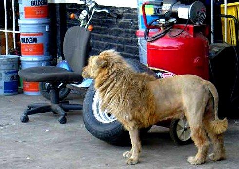 Comment dompter le lion Africain facilement Mimoun12