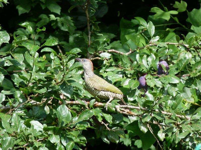 Picus viridis, P1370810