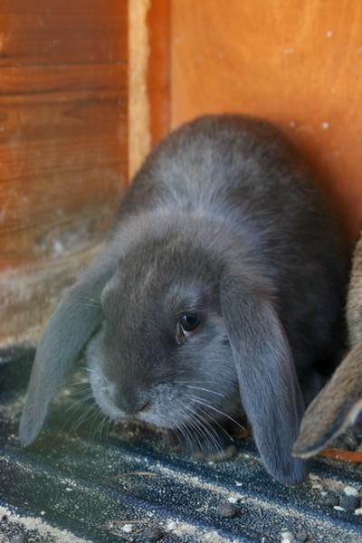 Cherche lapin bélier nain  Bb110