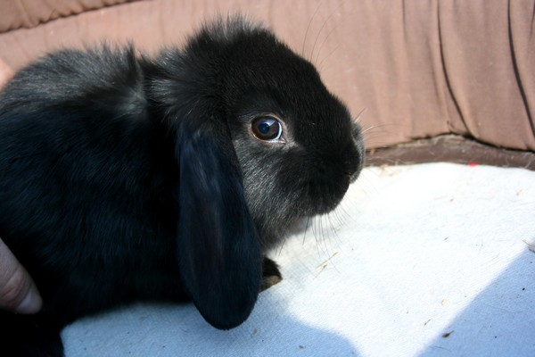 Cherche lapin bélier nain  Bb210