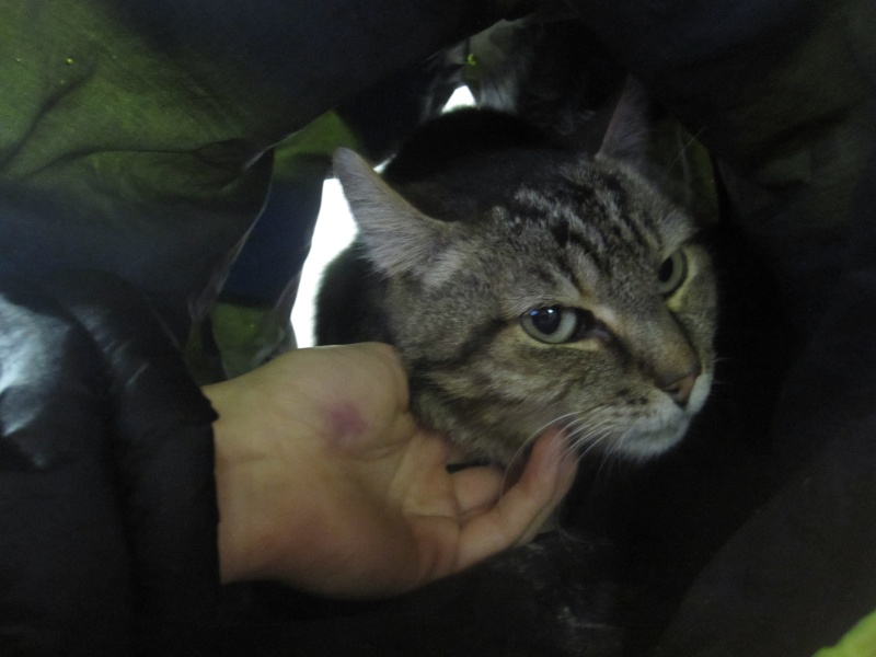 Basil,matou tigré environ 8ans, FeLV+, Adorable ++++ (54) Basil_12