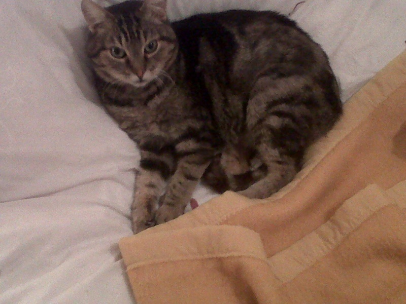 Basil,matou tigré environ 8ans, FeLV+, Adorable ++++ (54) Basil_15