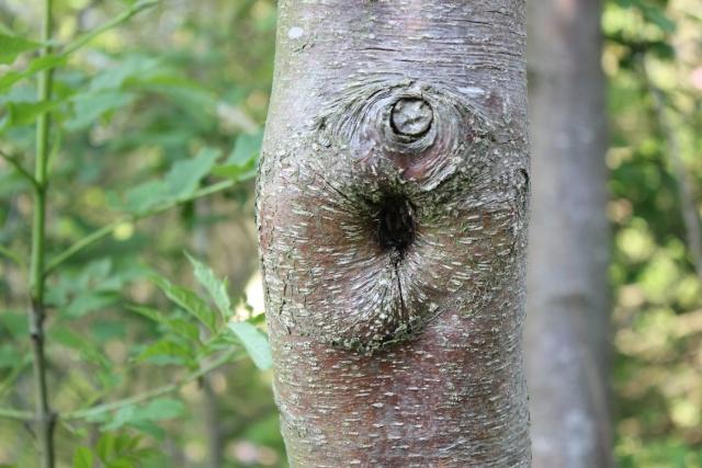 Les arbres ont des oreilles : dingue mais vrai !!  25_05_11