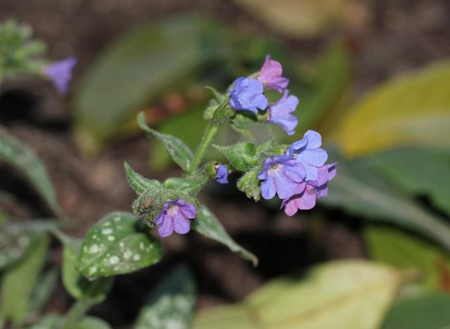 Pulmonaria longifolia - pulmonaire à longues feuilles 60_210
