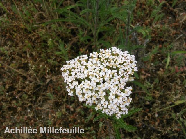 Achillea millefolium - achillée millefeuille Achill10