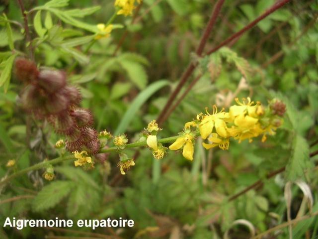 Agrimonia eupatoria - aigremoine eupatoire Aigrem16
