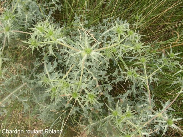 Eryngium campestre - panicaut champêtre Chardo12
