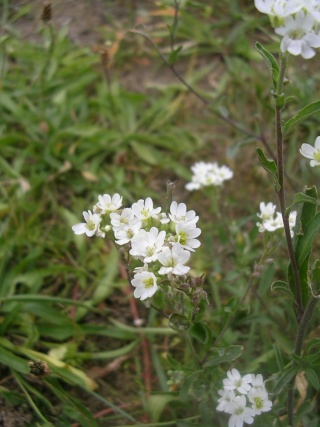 Berteroa incana - alysson blanchâtre Erophi10