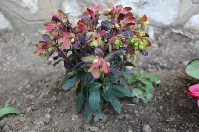 Euphorbia amygdaloides Euphor10