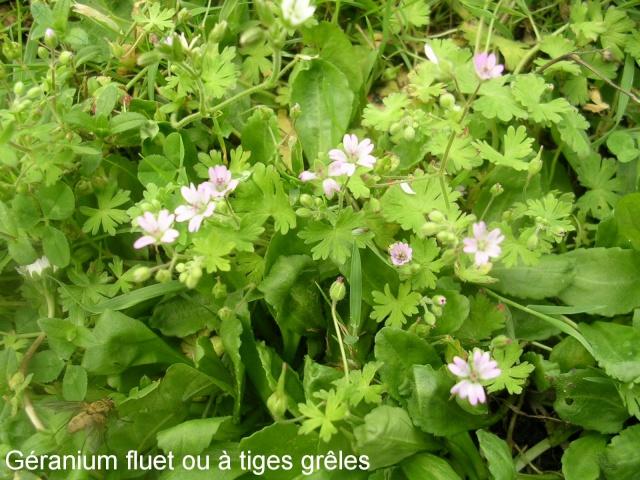 Geranium pusillum - géranium fluet Garani10