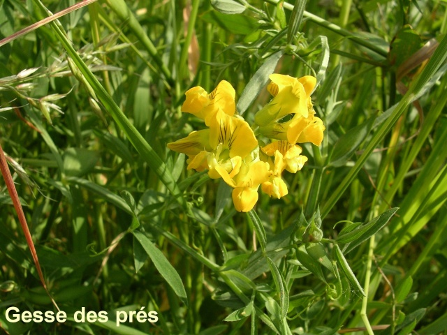 Lathyrus pratensis - gesse des prés Gesse_11