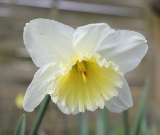 Narcissus - les narcisses - Page 4 Img_2316