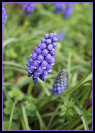 Muscari - le genre - Page 2 Img_2510